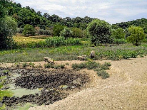 I maiali di razza Mangalitza nell'allevamento allo stato semi-brado
