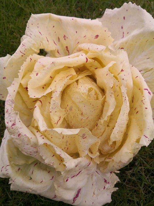 Il radicchio variegato di Castelfranco